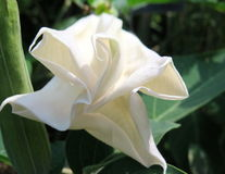 Bianchi delicati di Moonflower Fotografie Stock