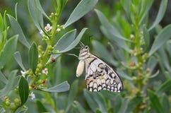 Bianco, abbronzatura e farfalla nera Fotografia Stock Libera da Diritti