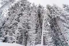 Bianco alto degli alberi di inverno di neve Fotografie Stock