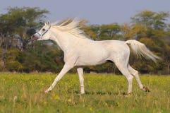 bianco arabo del cavallo Fotografia Stock