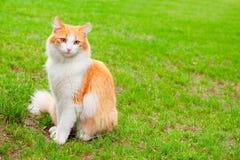 bianco arancione del ritratto del gatto Fotografia Stock