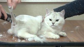 Bianco britannico dello shorthair, taglio di capelli video d archivio
