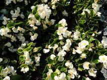 Bianco che fiorisce mai begonia (semperflorens) della begonia, Begoniaceae della famiglia Immagini Stock