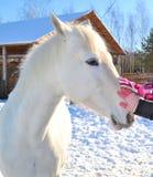 Bianco come cavallo della neve Fotografie Stock
