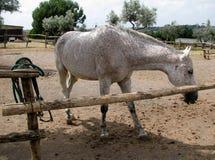 Bianco con i fungino di malattia sul cavallo del cappotto Immagine Stock