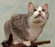 Bianco con il gatto grigio dello shorthair Fotografie Stock
