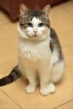 Bianco con il gatto grigio dello shorthair Immagini Stock