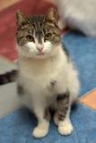 Bianco con il gatto grigio dello shorthair Fotografie Stock Libere da Diritti