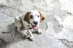 Bianco con il puntatore di quattro mesi castano dorato del cucciolo Fotografia Stock