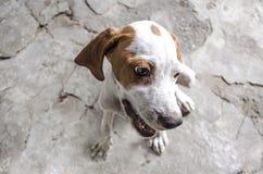 Bianco con il puntatore di quattro mesi chiazzato castano dorato del cucciolo Immagine Stock Libera da Diritti