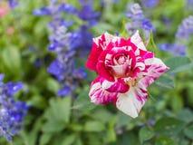 Bianco con la rosa rossa Immagine Stock