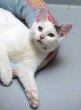 Bianco con un gatto grigio del punto Fotografia Stock