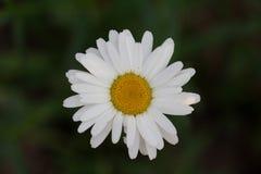 Bianco con un giallo Fotografia Stock Libera da Diritti
