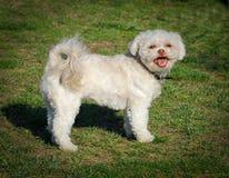 bianco del barboncino del cane Fotografia Stock Libera da Diritti