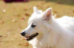 bianco del cane Immagine Stock Libera da Diritti