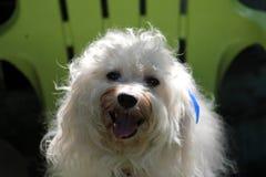 Bianco del cane di Bichon Immagine Stock
