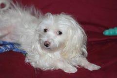 Bianco del cane maltese Immagine Stock Libera da Diritti