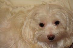 Bianco del cane maltese Fotografia Stock Libera da Diritti