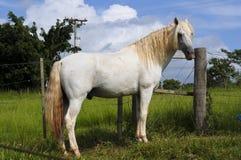 bianco del cavallo Fotografia Stock Libera da Diritti