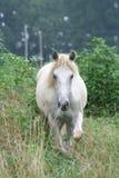bianco del cavallo Fotografie Stock