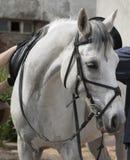 Bianco del cavallo Fotografie Stock Libere da Diritti