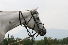 Bianco del cavallo Immagini Stock