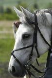 Bianco del cavallo Immagine Stock Libera da Diritti