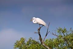 bianco del egret Immagine Stock