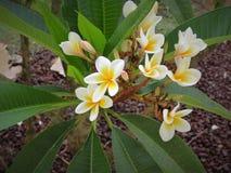 Bianco del fiore Fotografie Stock Libere da Diritti