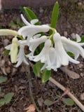 Bianco del fiore della primavera Fotografie Stock Libere da Diritti