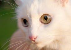 bianco del gatto Fotografie Stock