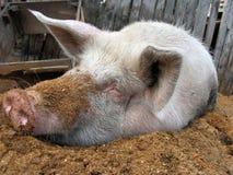 bianco del maiale Fotografia Stock Libera da Diritti