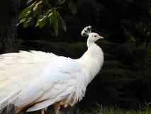 Bianco del pavone fotografie stock libere da diritti