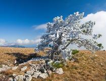 Bianco del pino e dell'alta montagna con gelo Fotografie Stock