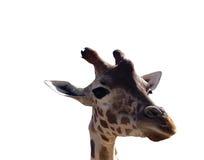 Bianco del primo piano della giraffa isolato Fotografie Stock Libere da Diritti