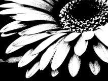 Bianco del primo piano sul nero di Gerber Daisy Flower Blossom Bloom Petal Fotografia Stock Libera da Diritti