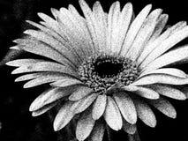 Bianco del primo piano sul nero di Gerber Daisy Flower Blossom Bloom Petal Fotografia Stock