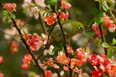 bianco dell'occhio dell'uccello Fotografia Stock Libera da Diritti