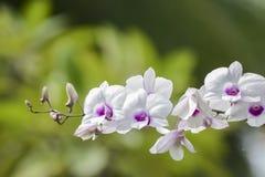 Bianco dell'orchidea Fotografia Stock