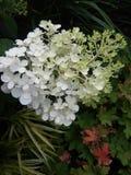 Bianco dell'ortensia con le foglie Fotografie Stock