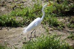 Bianco dell'uccello della gru Fotografie Stock Libere da Diritti