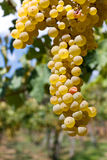 Bianco dell'uva immagini stock