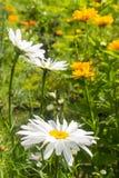 Bianco della camomilla Fotografia Stock