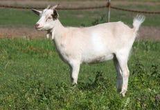 Bianco della capra Immagini Stock Libere da Diritti