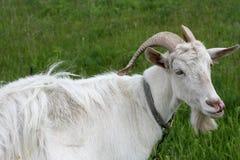 bianco della capra Fotografia Stock Libera da Diritti