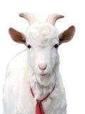 Bianco della capra isolato Fotografie Stock Libere da Diritti
