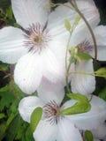 Bianco della clematide Fotografia Stock