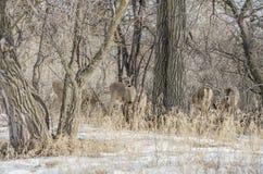 bianco della coda del Montana dei cervi Immagine Stock