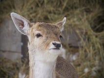 bianco della coda del Montana dei cervi Fotografia Stock Libera da Diritti