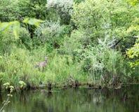 bianco della coda del Montana dei cervi Fotografia Stock